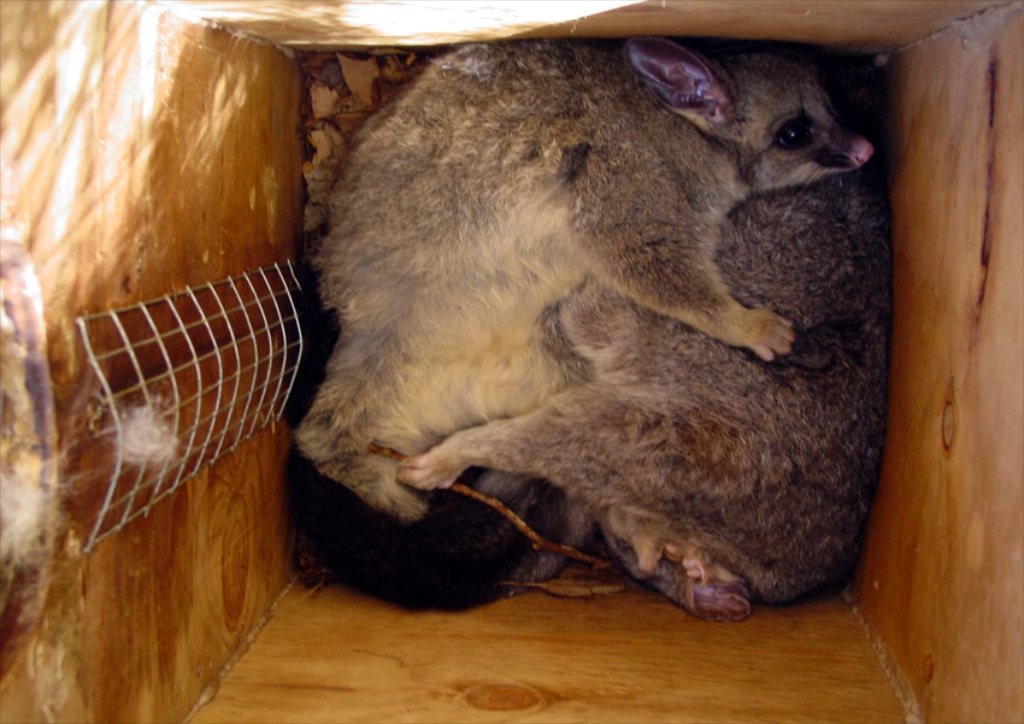 The Brushtail Possum Box Plus Tips To Attract Possums